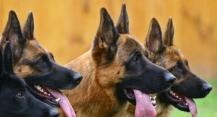 Международна изложба за немски овчарски кучета, 29.08.2020 г.